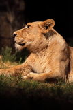 Resting lioness. A lioness while resting in the shade of a bush stock image
