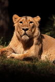 Resting lioness. A lioness (Panther Leo) lying is resting, looking around stock image