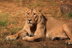 Resting lioness. A lioness (Panther Leo) lying is resting, looking around stock images