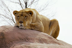 Resting Lioness. Lioness takes a break stock photography