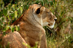 The resting lioness in the bushes Stock Photo