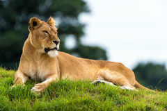 Resting Lioness Royalty Free Stock Photography