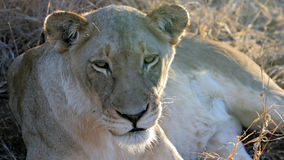 Resting lioness, Krueger National Park Stock Photo