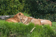 Resting lionesses Stock Image