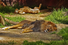 Resting Lions. A male and female lion couple resting Stock Image