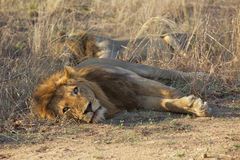 Resting Lions Stock Image
