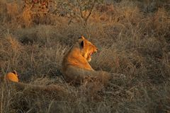 Free Resting Lions Stock Image - 3370121