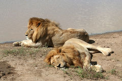 Resting lions Royalty Free Stock Photos