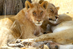 Resting Lions Royalty Free Stock Photography