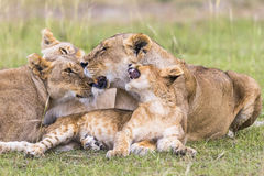 Resting lions flock Stock Photos