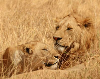 Resting lions in Serengeti, Tanzania Royalty Free Stock Images