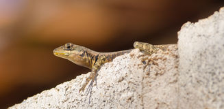 Resting lizard. A tropidurus itambere resting on top of a wall Stock Image