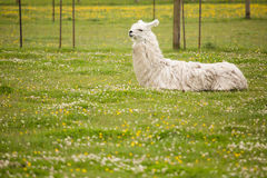 Resting llama. A llama rests in a grass at the Blue Heron French Cheese Company in Tillamook, Oregon royalty free stock photos