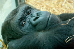 Resting lowland gorilla Royalty Free Stock Photography