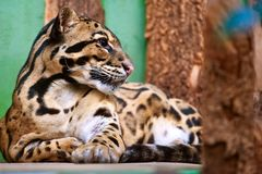 Neofelis nebulosa / Clouded leopard. Resting lying wild animal: Neofelis nebulosa / Clouded leopard royalty free stock images