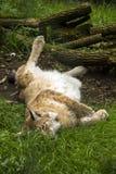 Resting lynx Stock Photo