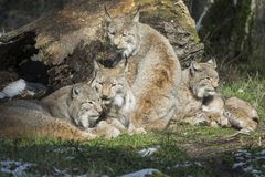Resting lynx family Stock Photography