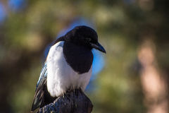 Resting Magpie Royalty Free Stock Image