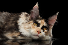 Resting Maine Coon Cat Lying with Cute Looks, Isolated Black Royalty Free Stock Photography