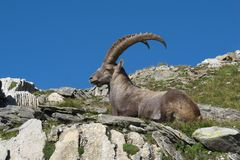 Resting male alpine ibex with big horns Stock Photography
