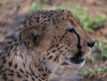 Resting male cheetah. Headshot of a cheetah resting in the shade. Madikwe Game Reserve, South Africa Stock Photo