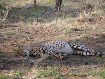 Resting male cheetah. Cheetah lying on side in the shade with a swollen stomach from a recent meal. Madikwe Game Reserve, South Africa Stock Photo