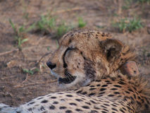 Resting male cheetah. Cheetah with a radio collar lying on side in the shade with a swollen stomach from a recent meal. Madikwe Game Reserve, South Africa Stock Image