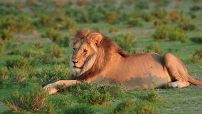 Resting male lion stock footage