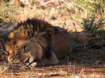 Resting male lion Stock Photography