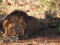 Resting male lion Stock Images