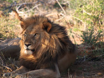 Resting male lion Stock Photo
