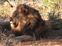 Resting male lion Royalty Free Stock Photography
