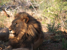 Resting male lion Royalty Free Stock Photo