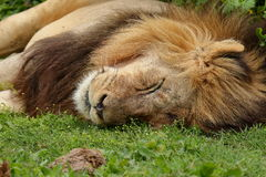 Resting male lion. Male lion lying and resting on green grass in the midday heat Stock Photography