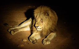 Resting male Lion at night Stock Images