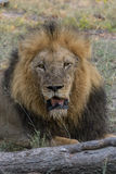 Resting. Male lion resting in veld next to tree trunk Royalty Free Stock Photography