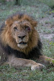 Resting. Male lion with wound under eye resting in veld Stock Images