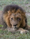 Resting. Male lion with wound under eye resting in veld Stock Photos