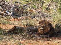 Resting male lions Royalty Free Stock Images