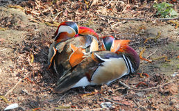 Resting Male Mandarin Duck Royalty Free Stock Image