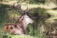 Resting male red deer Royalty Free Stock Image