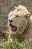 Resting Male White Lion Portrait 1 Royalty Free Stock Photo