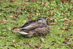 Resting Mallard. A mallard curls up for an afternoon nap in autumn Stock Photography