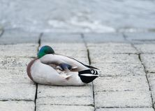 Resting mallard drake at the river bank. Mallard drake resting at the bank of the Elbe River at daylight Royalty Free Stock Photo