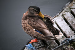 Resting Mallard. Mallard duck resting on a dock Royalty Free Stock Photos