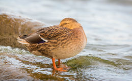 Resting Mallard female duck. A female Mallard Duck (Anas platyrhynchos) rests at the shore of the baltic sea in Lithuania, her head half hidden under her wings Royalty Free Stock Image
