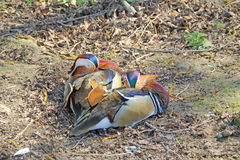 Resting Mandarin Duck Stock Photography