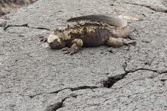Resting marine iguana Stock Photography