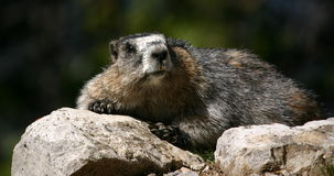 Resting marmot Royalty Free Stock Photos