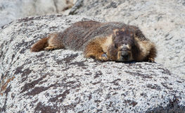 Resting Marmot Stock Photography